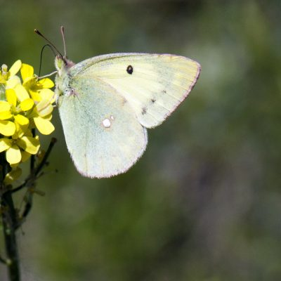 Colias erate (Pale Clouded Yellow)