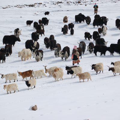 Yak and sheep