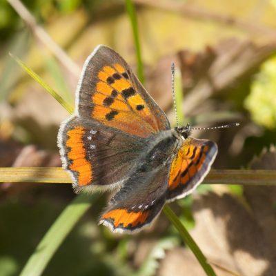 Lycaena phlaeus (Small Copper)