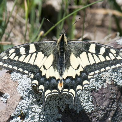 Papilio machaon (Old World Swallowtail)