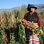 Collecting quinoa