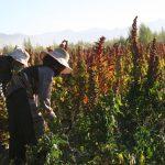 Tibetan farmers harvesting quinoa