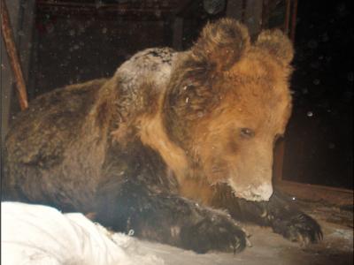 Brown bear inside herder's home (Wang Dajun)