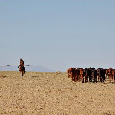 Herding camels